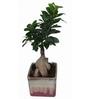 Exotic Green Ficus Bonsai Plant with English Purple Ceramic Pot