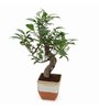 Exotic Green S-Shaped Ficus Bonsai Plant with German Brown Ceramic Pot