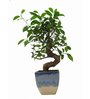 Exotic Green S-Shaped Ficus Bonsai Plant with White & Blue Ceramic Pot