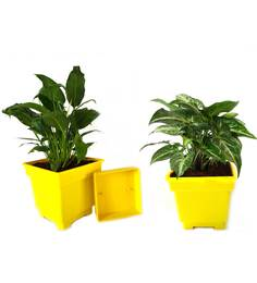 Rolling Nature Peace Lily And Syngonium Air Purifying Plants Combo In Yellow Square Colorista Pot