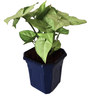 Rolling Nature Syngonium White in Blue Hexa Pot